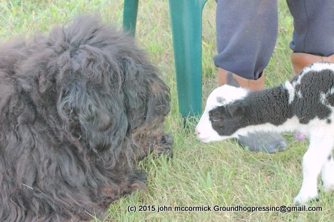 bouvier-dog-and-lamb.jpg