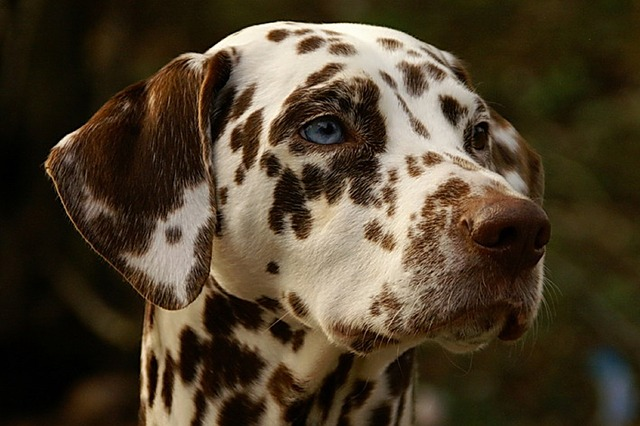 liver dalmatian
