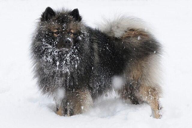 Keeshond, Closely Related to Spitz, but Different!