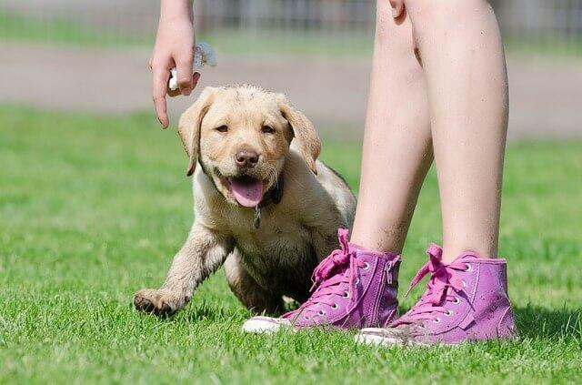 labrador-puppy4