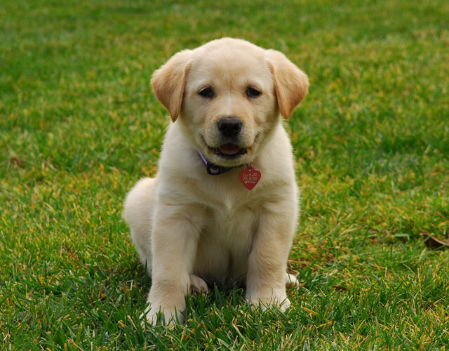 Labradors – Cute As A Button