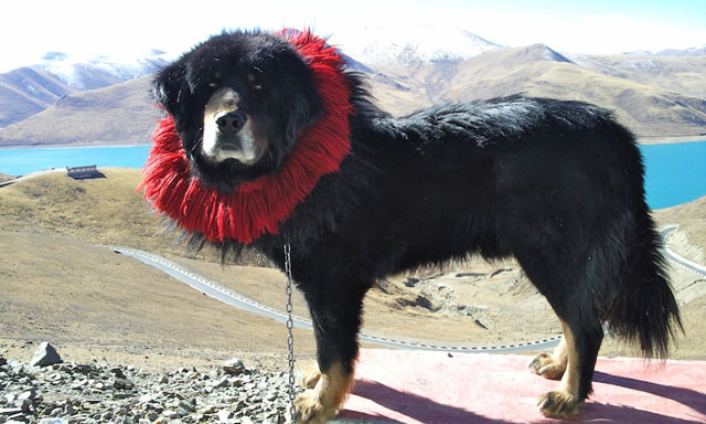 Tibetan Mastiff, Tulip Craze From Million$$ to Dog Food?