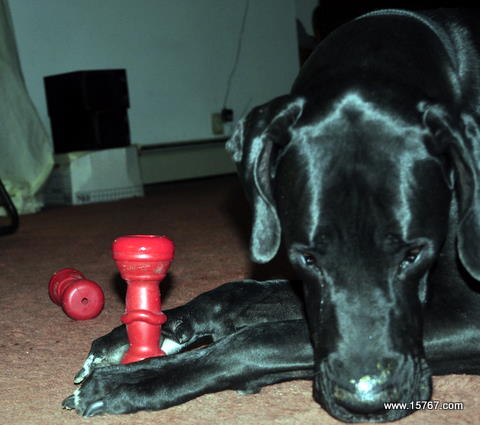 Dog appearing to pray over Kong