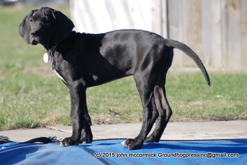 Great Dane Pup with complete tail