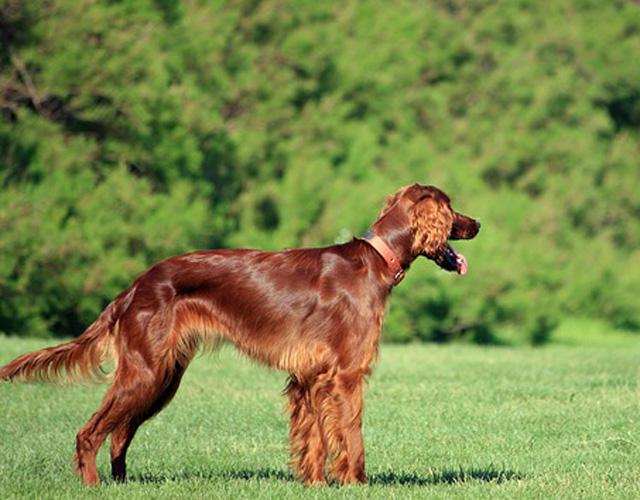 An Irish Setter dog