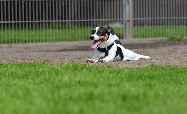 jack-russell-2