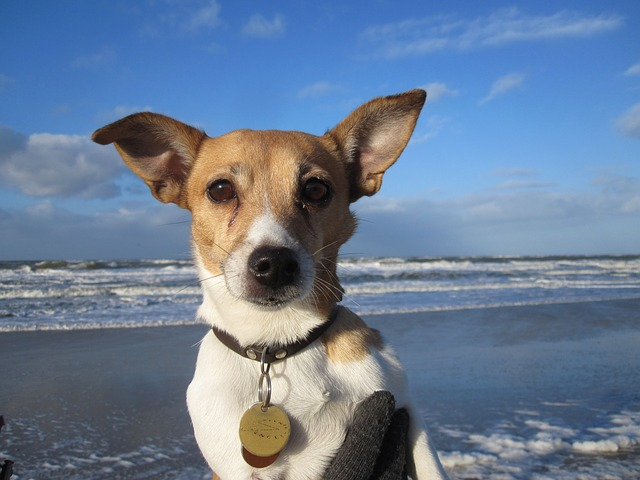 jack-russell-3