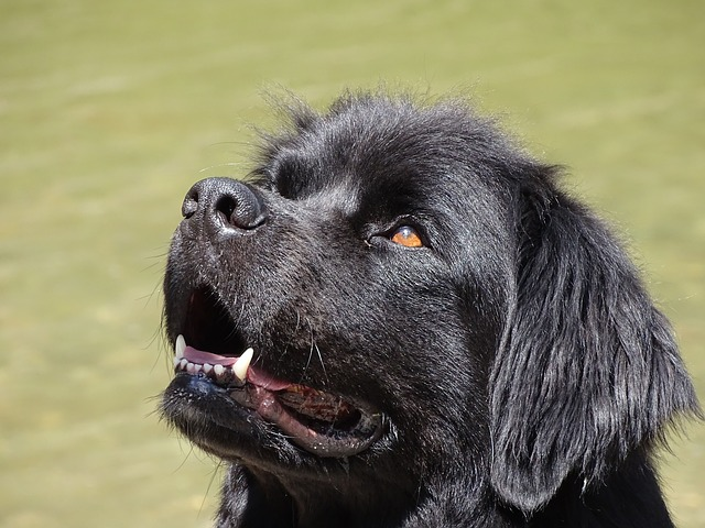 Newfoundland, The Dog With Webbed Feet