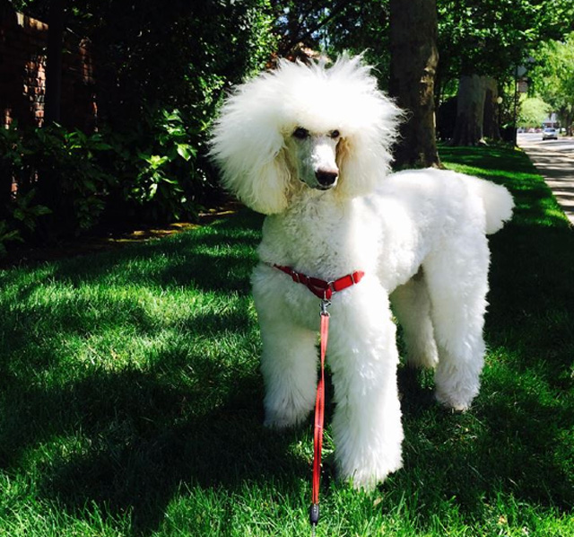 poodle in the forest