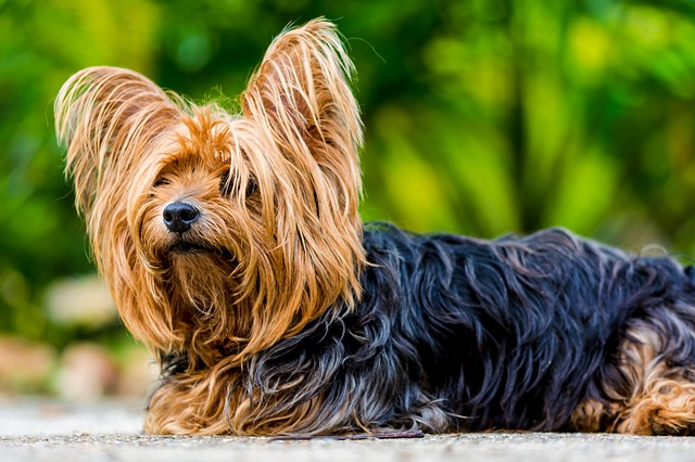 yorkshire terrier sitting patiently