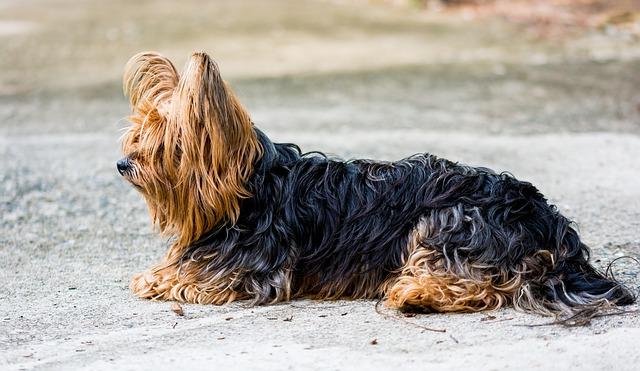 yorkshire-terrier-7