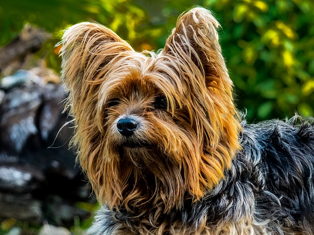 yorkshire-terrier-9