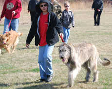 photo of Irish Wolfhound pup at 9 months.
