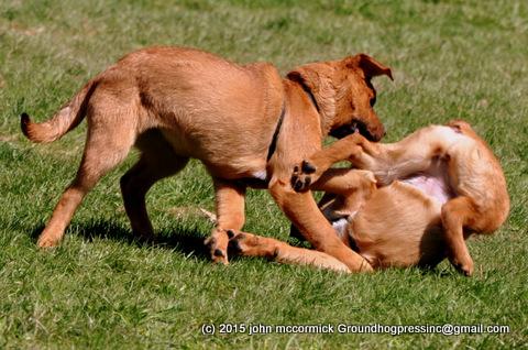 Saint Weiler puppies kickboxing
