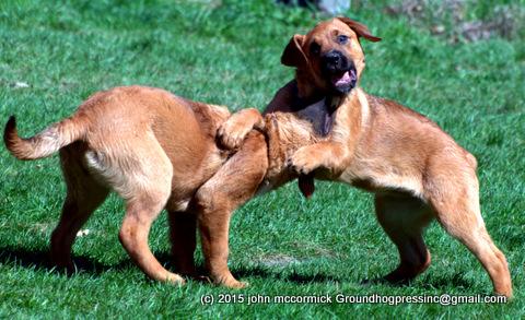 Saint Weiler puppies playing