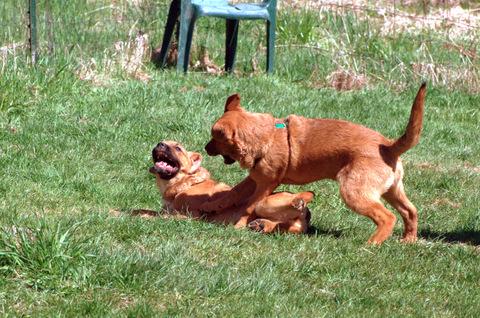 Saint Weiler Puppies play rough, show teeth