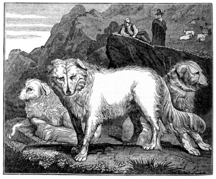 Abruzzenhund – the huge placid Italian mastiff