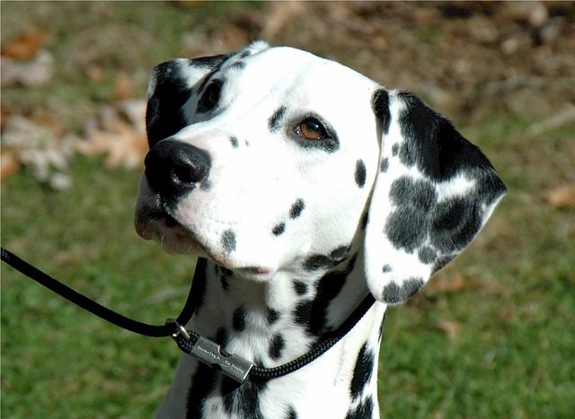 Dalmatians and George Washington