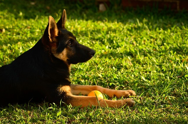 german-shepherd-3