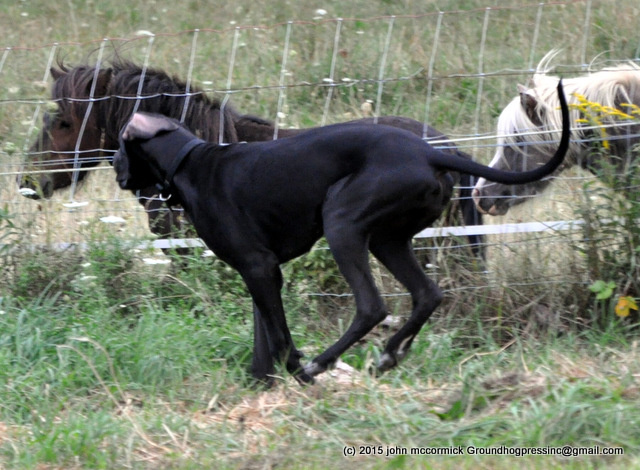 Great Danes and Miniature Horses
