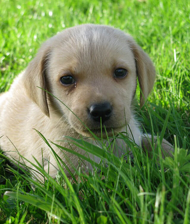 Labradors - Cute As A Button 1