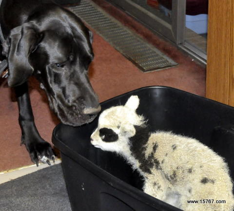 Great Dane and baby lamb