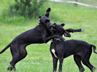 Great Dane Puppies Playing Rough