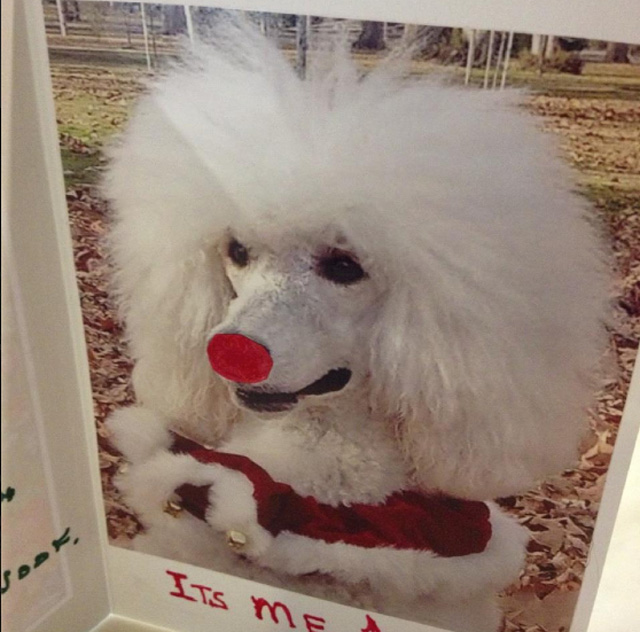 Emma the red nosed poodle