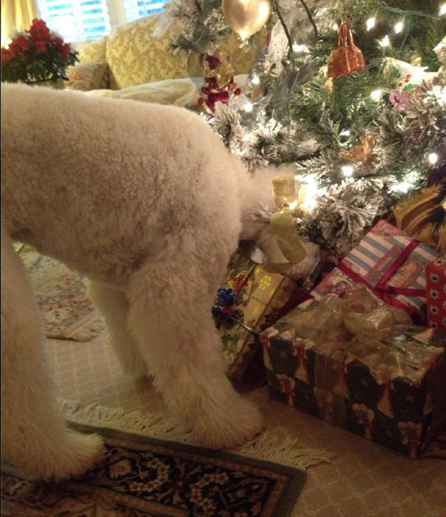 Standard Poodle looking for her Christmas presents
