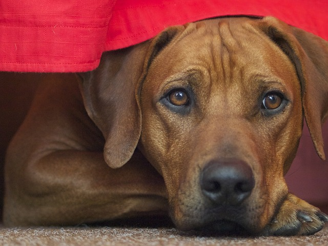 Rhodesian Ridgeback, The Red Hunting Hound
