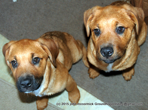 St. Weiler puppies looking up
