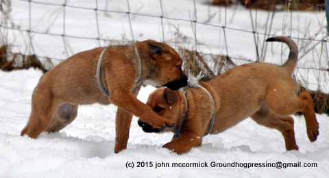 Saint Weiler Puppies Playing