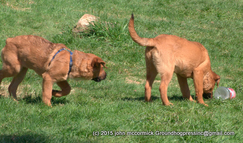 Two St. Weiler Puppies, one with docked tail
