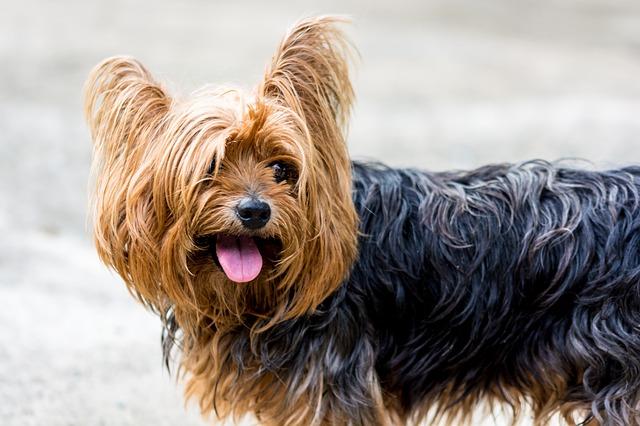 yorkshire-terrier-1
