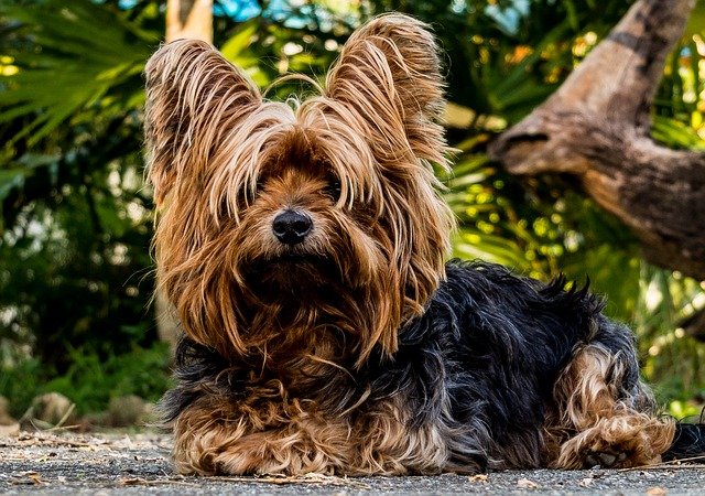 yorkshire terrier looking at you