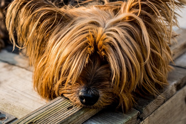 yorkshire terrier sulking