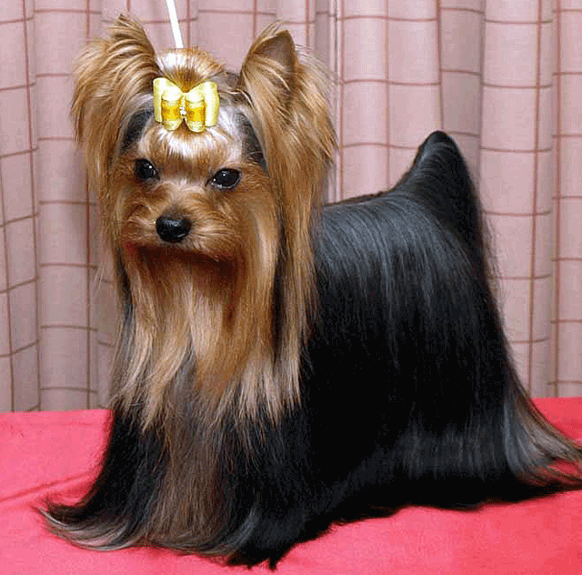yorkshire terrier ready to show
