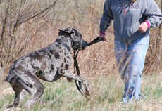 photo of Great Dane therapy dog and owner searching for a kong