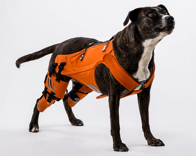 dog with harness for hip dysplasia