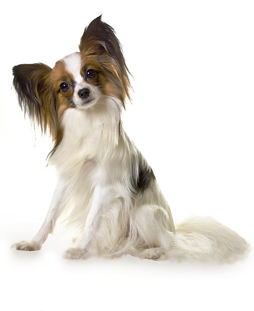 papillon can get hip dysplasia