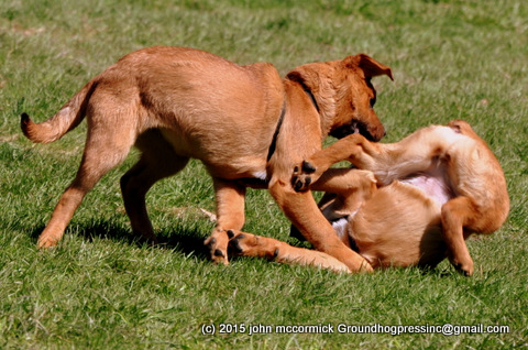 Saint Weiler puppies kickboxing